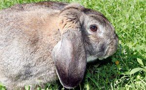 Кролики особой породы
