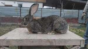 Порода кролика баран