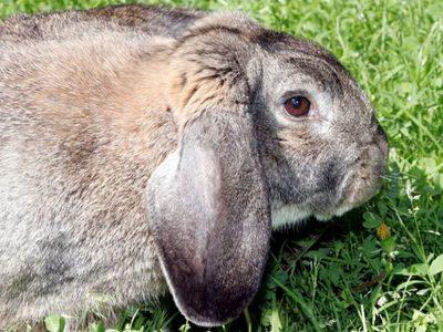 Кролик породы баран описание и особенности породы