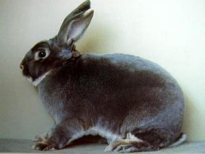Кролики породы Рекс - фото