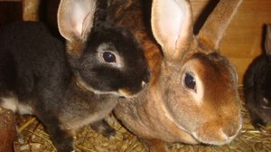 Кролик Рекс - уход и особенности