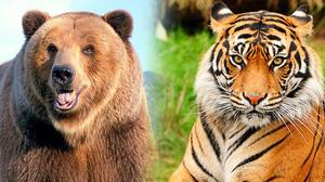 Кто сильней тигр медведь или лев