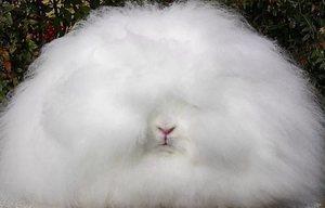 Основные виды пушистых кроликов