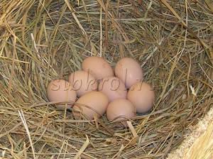 Процесс высиживания яиц у кучинских кур