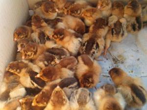 Особенности цыплят породы кур Кучинская Юбилейная