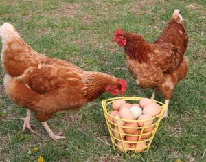 Яйценоскость кур породы родонит