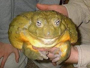Как выглядит лягушка-голиаф