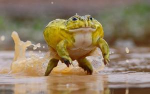 Чем питаются лягушки-голиафы