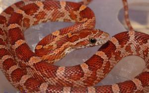 Описание змеи