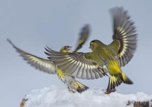 Красота природы -Птица-Чиж