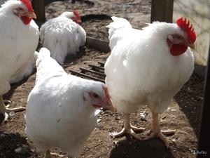 Оптимальное содержание мини-мясных кур