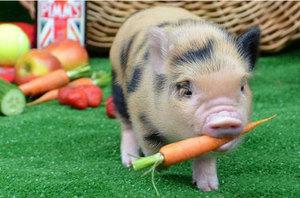 Что едят мини-пиги