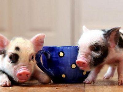 Мини-пиги: карликовые домашние свиньи