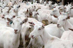 Молочные породы коз-содержание и уход
