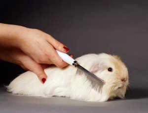 За длинношерстными свинками нужен регулярный уход