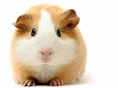 Морская свинка: общие характеристики, уход, содержание и разведение