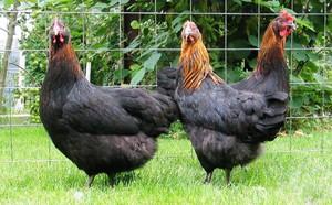 Описание курей черной породы