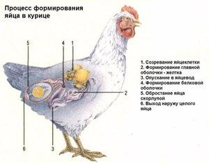 Процесс яйцеобразования