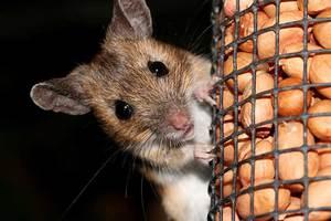 Разновидности мышей