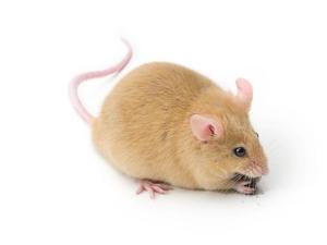Белые мыши (фото)