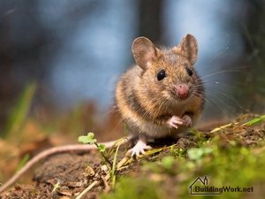 Разведение мышей в качестве домашних любимцев