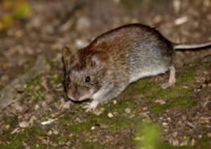 Питание мышей в домашних условиях
