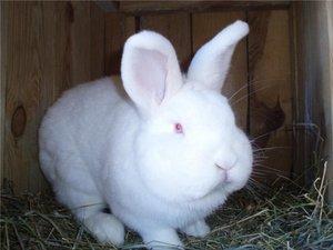 Новозеландский белый кролик