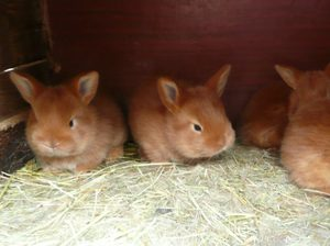 Новозеландские красные крольчата
