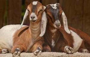 Чем кормить нубийских коз