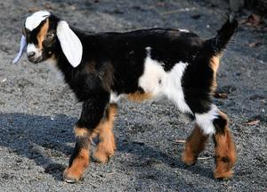 Как выглядят нубийские козы