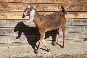 Описание внешности нубийских коз
