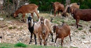 Как содержать нубийских коз