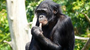 Как содержать обезьян бонобо