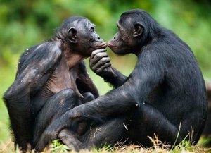 Какие на вид обезьяны бонобо