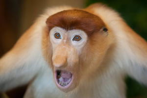 Места обитания обезьян носач