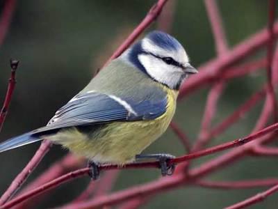 Обыкновенная птица синица лазоревка: описание
