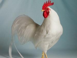 Белые куры породы Леггорны