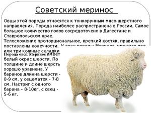 Редкие породы овец