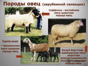 Популярные виды овец