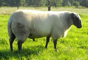 Содержание овец