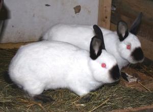 Кролики калифорнийской породы - красивые фото