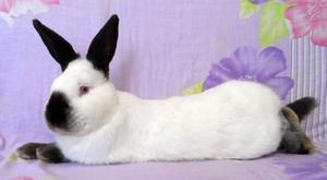 Домашнее содержание кроликов калифорнийцев