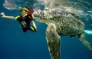 Черепаха и плавец в океане