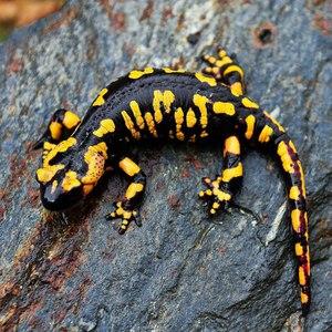 Строение огненной саламандры