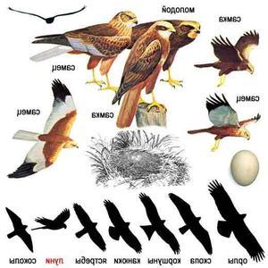 Птицы-хищники