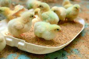 Как выглядят суточные цыплята