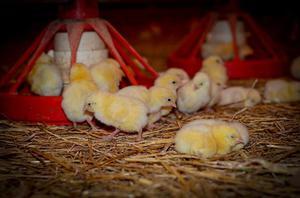 Питание суточных цыплят
