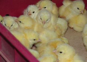 Уход за цыплятами