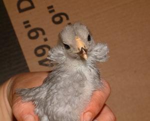 Цыплята араукана-уход
