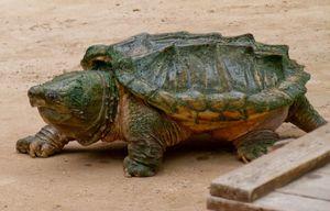 Описание грифовой черепахи